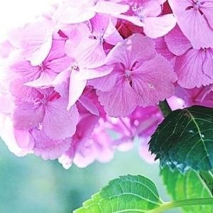 【栃木編】紫陽花の名所10選♡自然がいっぱい、見どころもたっぷり♪