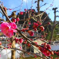 媲美櫻花的梅花祭♡令人感受到第一波的春天氣息~♪♪